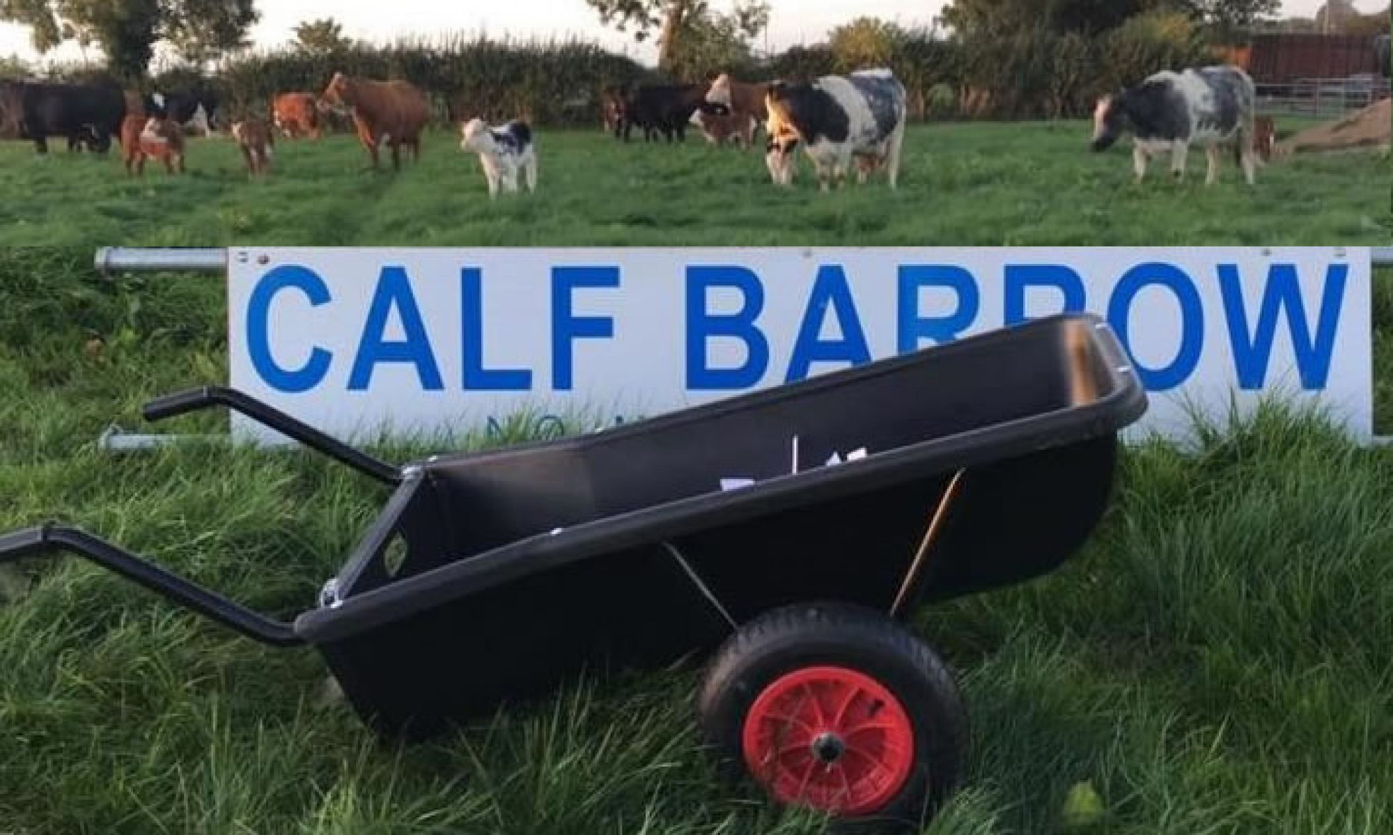 Calf Barrow UK